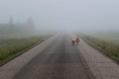 iceland-01-sheep