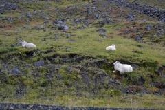 iceland-02-sheep