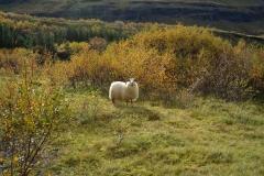 iceland-03-sheep
