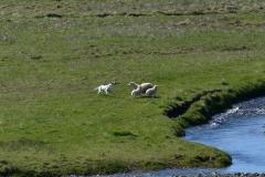 iceland-05-sheep
