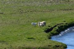 iceland-06-sheep
