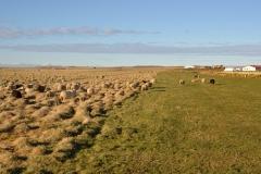 iceland-07-sheep
