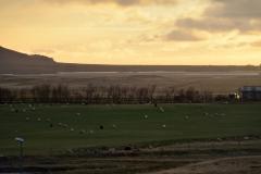 iceland-08-sheep