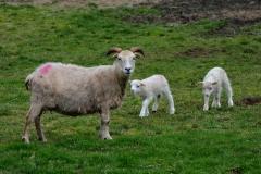 iceland-09-sheep