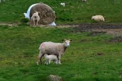iceland-10-sheep