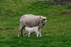 iceland-11-sheep