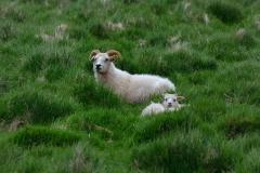 iceland-12-sheep