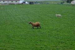 iceland-13-sheep