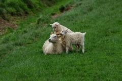 iceland-14-sheep