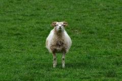 iceland-15-sheep