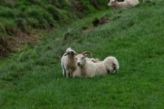 iceland-16-sheep