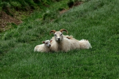 iceland-17-sheep