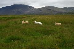 iceland-18-sheep