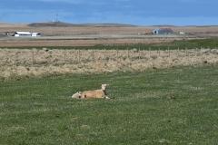 iceland-19-sheep