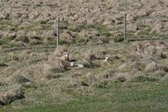iceland-20-sheep